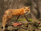 Red Fox on Rock Wall