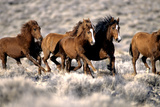 Herd of Wild Horses Running Free in Desert  Nevada  USA
