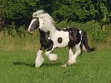 Irish Cob Pony Galloping in Field
