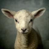 Cute New Born Lamb Papier Photo par Bob Van Den Berg Photography