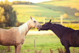 Two Playful Thoroughbred Horses Playing in Field