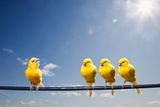 Four Canaries on Wire  One Bird Chirping