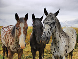 Three Appaloosa Horses Papier Photo par Photos By By Deb Alperin