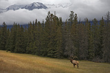 Bull Elk in Meadow with Snow Covered Mountains