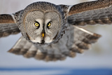 Hunting Great Grey Owl (Strix Nebulosa)