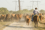 Cowboy Moving a Herd of Cattle