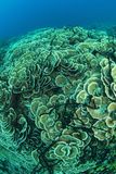 Hard Coral Panorama (Montipora Sp)  Papua New Guinea