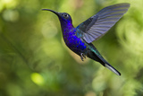Violet Sabrewing Hummingbird  Costa Rica