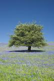 Hawthorn  Bluebells at Holwell Lawn  Dartmoor  UK