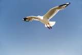 Silver Gull in Flight against Blue Sky