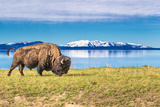 Buffalo Grasing in Yellowstone National Park