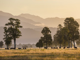 Cattle Grazing near Lake Matheson  South Island