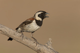 A Cape Sparrow Perched on a Branch