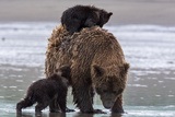Brown Bear in Lake Clark National Park