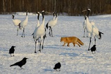 Japanese Cranes and Red Fox in Hokkaido  Japan