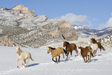 Usa  Wyoming  Shell  Wild Horses Galloping in Snow Covered Mountains