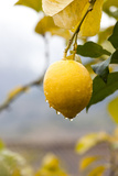 Raindrops Dripping from Lemons