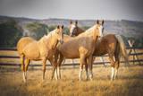Three Palomino Ponies Looking at the Camera