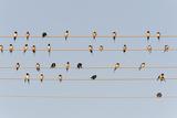 Germany  Unteruhldingen  Flock of Barn Swallows on Power Lines