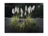 Pampas Grass (Native Grass  Oakland  CA)
