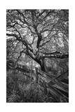 Oak Tree and Fence (Native Woodland  Oakland  CA  Black and White)