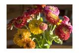 Zinnias  Close-Up (Still Life with Flowers)
