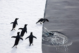 Adelie Penguins (Pygoscelis Adeliae) Leaping off Pack Ice into Sea
