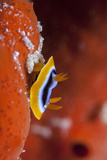 Baby Nudibranch