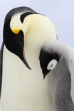 Emperor Penguin(Aptenodytes Forsteri) Looking at Chick