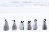 Emperor Penguin Chicks (Aptenodytes Forsteri)