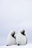 Two Emperor Penguin Chicks (Aptenodytes Forsteri) Resting