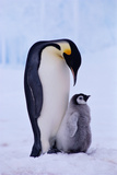 EMPEROR PENGUIN ADULT WITH CHICK