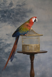 Scarlet Macaw (Ara Macao) Sitting on Cage