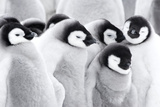 Emperor Penguin Chicks (Aptenodytes Forsteri)  Close-Up
