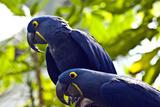 Blue Macaws