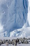 Emperor Penguin (Aptenodytes Forsteri) Rookery