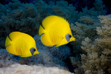 Pair of Blue Cheek Butterflyfish  Red Sea