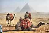 Camel and Pyramids  Caro  Egypt