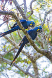 Two Macaws in the Tree