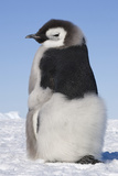 Emperor Penguin Chick Moulting