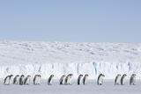 Emperor Penguin Chicks Moulting Going at Sea