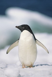 Adelie Penguin  Close-Up