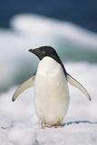 Adelie Penguin  Close-Up
