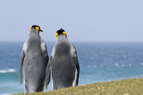 King Penguins Courting (Aptenodytes Patagonicus)