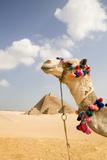 Camel in Desert with Pyramids Background Papier Photo par Grant Faint