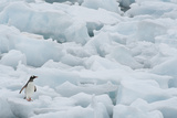 Gentoo Penguin among Ice Floes