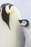 Emperor Penguins in Antacrtica