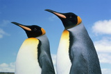 King Penguins (Aptenodytes Patagonicus)  Falkland Islands