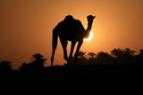 Camel Silhouetted in the Setting Sun