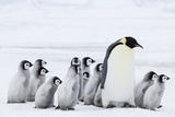 Emperor Penguin and Chicks (Aptenodytes Forsteri)
